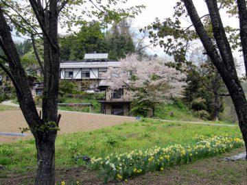 小川村で、ふと見事な桜のあるお宅を発見