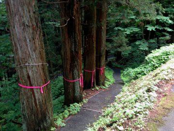 昔の参道と御柱に選ばれた?四本の杉